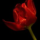 Red Satin Tulip by Ann Garrett