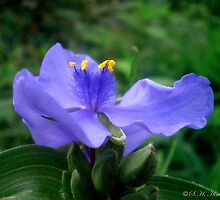Spiderwort by shimschoot