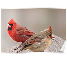 Female and Male Cardinal Poster