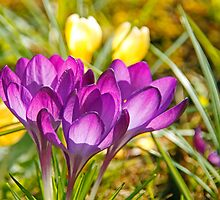 Sunlit Crocuses  by Martina Fagan