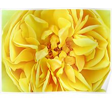 Macro Flower Photography ~ Sunny Yellow Rose with Petals & Stamens Poster