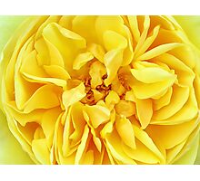Macro Flower Photography ~ Sunny Yellow Rose with Petals & Stamens Photographic Print