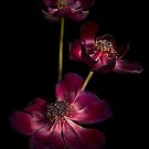 Anemone Trio by Ann Garrett