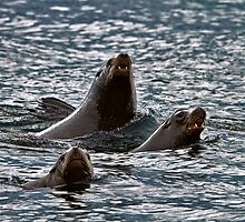 BARKING SEA LIONS by Sandy Stewart