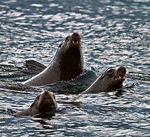 BARKING SEA LIONS by Sandy Stewart