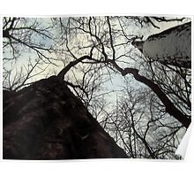 Looking up at Cottonwood Poster