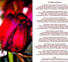 A Dead Rose with a Poem by Elizabeth Barrett Browning by Vee Robillard