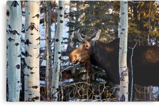 Lone Moose by Justin Atkins