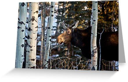 Lone Moose by Justin Atkins