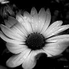 Curled Petals by shimschoot