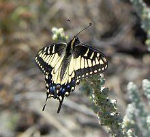 Swallowtail Butterfly Resting by samela7
