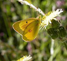 Sulphur Butterfly by samela7