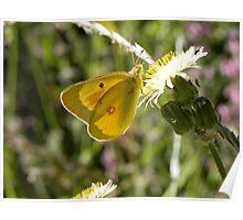 Sulphur Butterfly Poster
