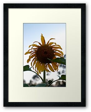 Sad Sunflower by Stephen Monro