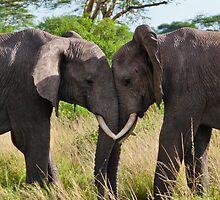 Elephant v elephant by JLCampbell
