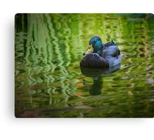 Young mallard drake Canvas Print