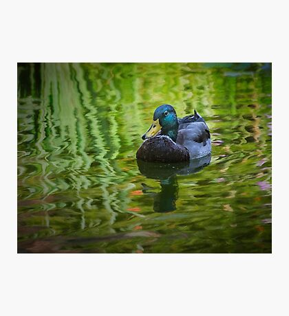 Young mallard drake Photographic Print