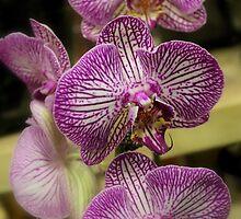 Orchid Trio by Rosanne Jordan