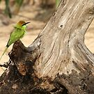 The Little Green Bee-eater. by debjyotinayak