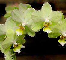 Orchid Spray by Rosanne Jordan