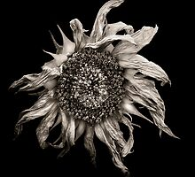sunflower by Jaromir