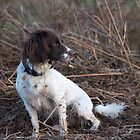English Springer Spaniel by Pete  Burton