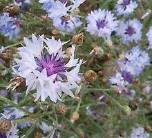 Nigella - white and purple by GemaKhan