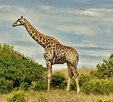 Giraffe by Warren. A. Williams