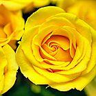 Outstanding Rose - Textured by Glenn Cecero