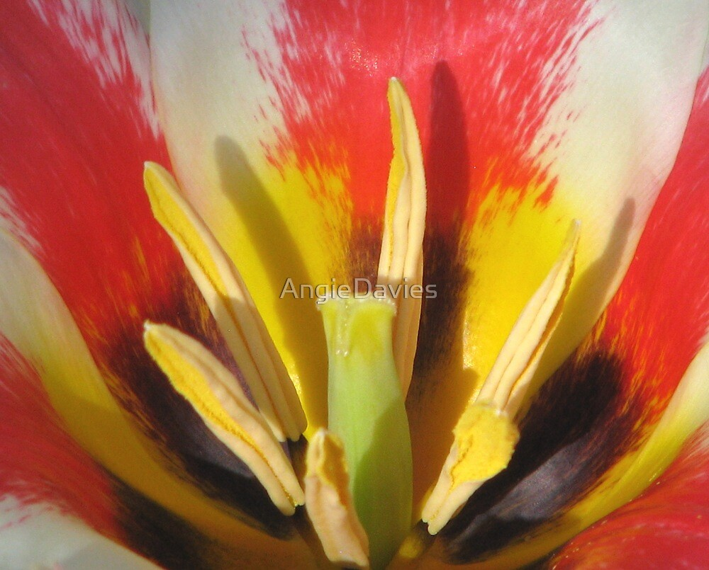 The Heart of a Tulip by AngieDavies