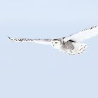 Glider - Snowy Owl by Jim Cumming