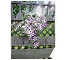 Purple Clematis Flower Vine Basking in Sunlight on a Wooden Garden Arbor Poster