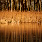 Shades of gold by Javimage
