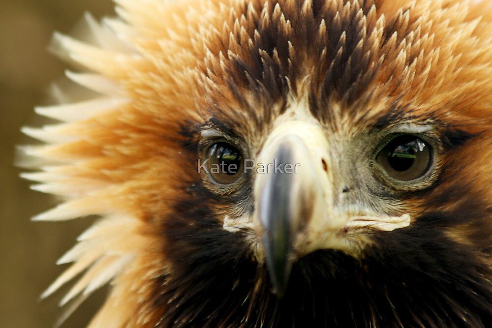 Wedge Tailed Eagle by Kate Parker