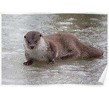 Otter on the ice Poster