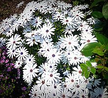 White Daisy Patch - Brightens Garden by EdsMum