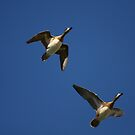Ducks in flight. by mikepemberton