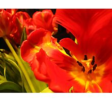 Vibrant Tulips Photographic Print