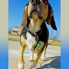 Sunny Day Beagle by Daniel Bowers