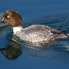 Barrow's Goldeneye Female by EvansKelly