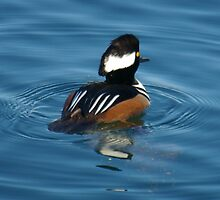 Diving Duck by EvansKelly
