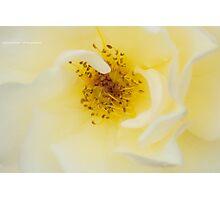 Custard Cream Photographic Print