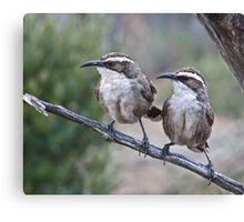 White browed-Babblers Canvas Print