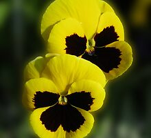 Bundles of Sunshine - Two Sunkissed Yellow Pansies by BlueMoonRose