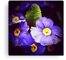 Primrose flowers Canvas Print