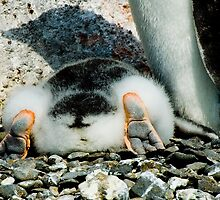 Penguin Chick Sunbathing by Crispel