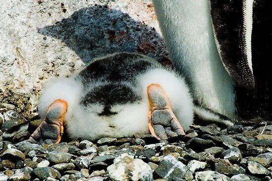 Penguin Chick Sunbathing by Crispel
