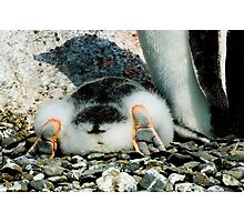 Penguin Chick Sunbathing Photographic Print