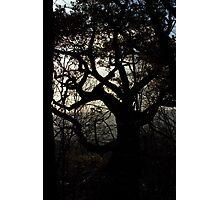 Woodland Tree Silhouette Photographic Print