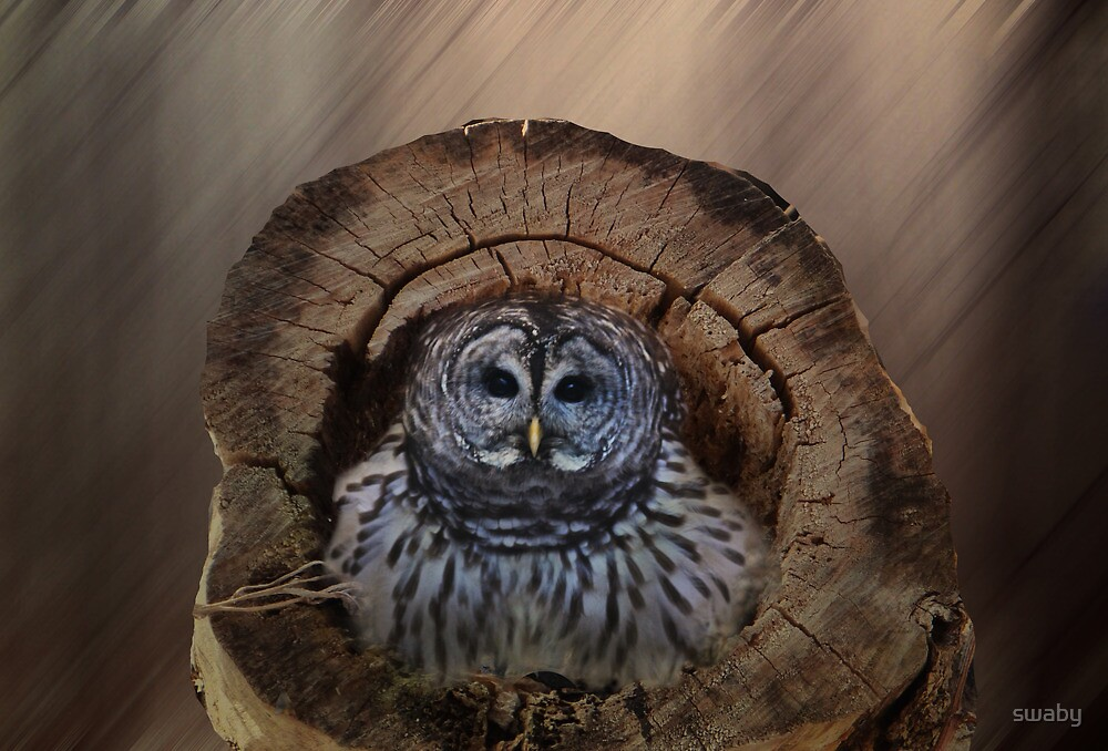 Barred Owl by swaby